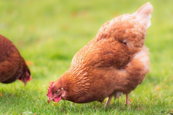chicken-digestion-blog-orig8BB276EB-F49E-FFCE-B372-F44441DBE22C.jpg