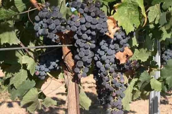 doorstepcbe-grapes-142F40080-11F8-CA19-18F3-0928D223ED2F.jpg